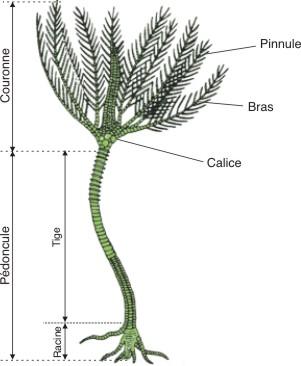 crinoides